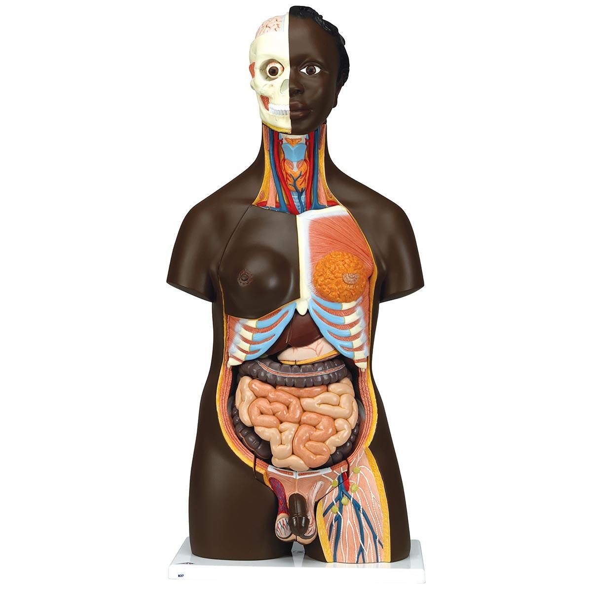 Meget detaljeret torso med 23 udtagelige dele, mørk hud og udskiftelige kønsorganer