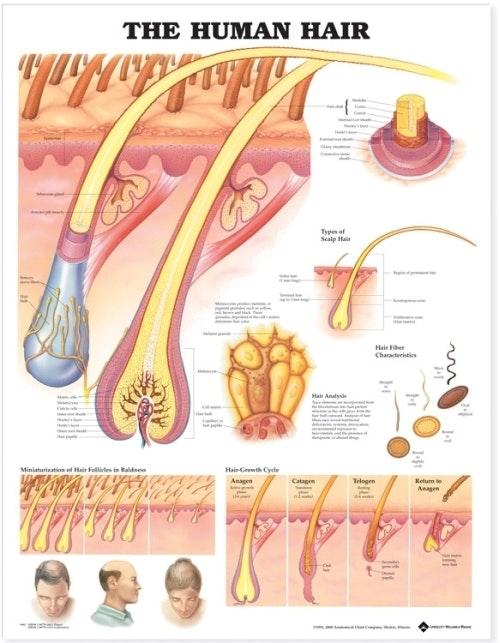 Menneskets hår lamineret plakat engelsk (Human hair)
