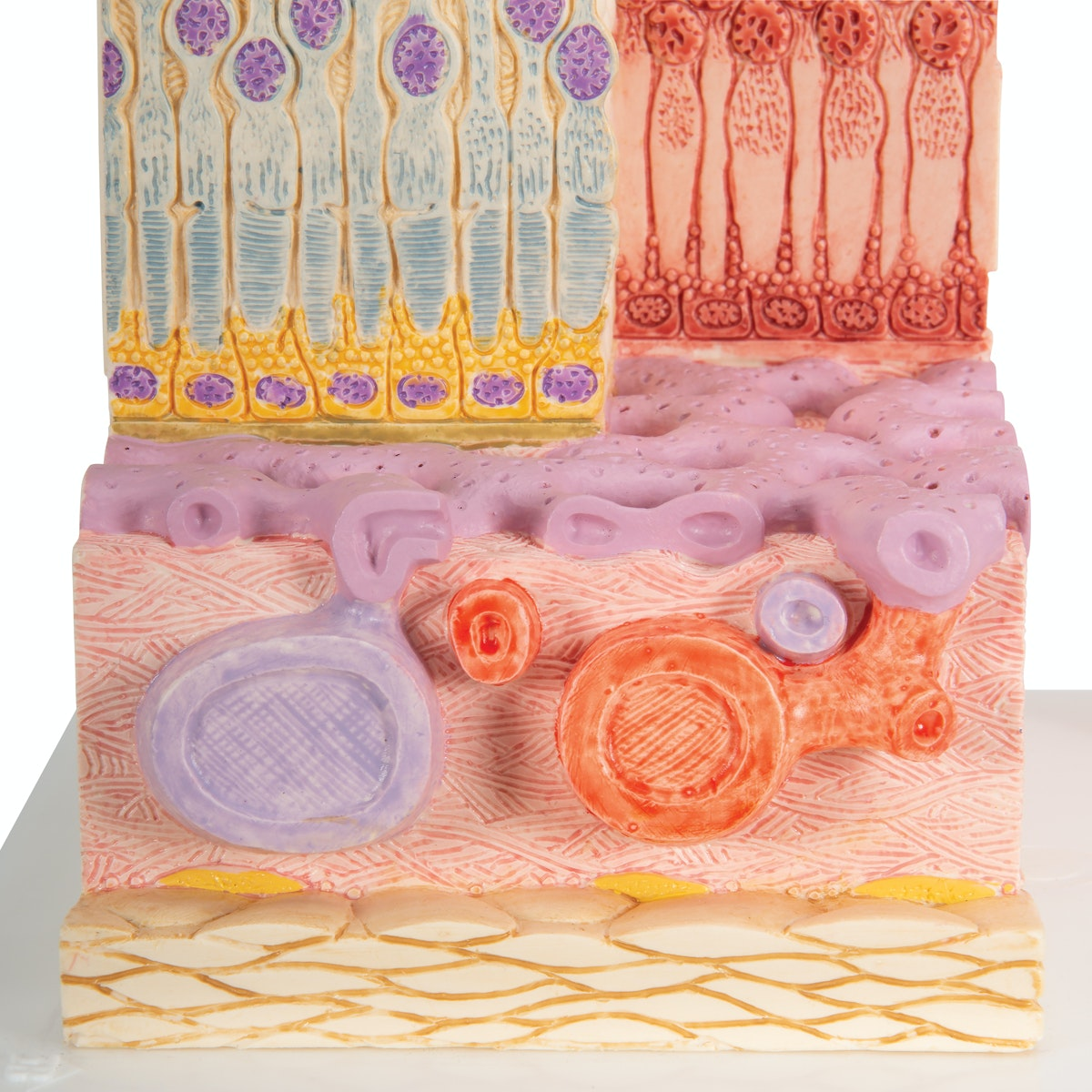 Detaljeret model af cellerne i øjets retina, choroidea og sklera i et mikroskopisk perspektiv