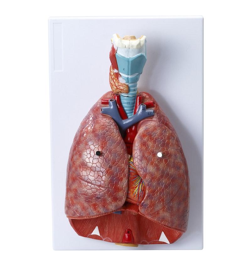 Komplet og adskillelig model af åndedrætssystemet med relationer til andre organer
