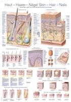 Plakat om huden, hår og negle på engelsk og tysk