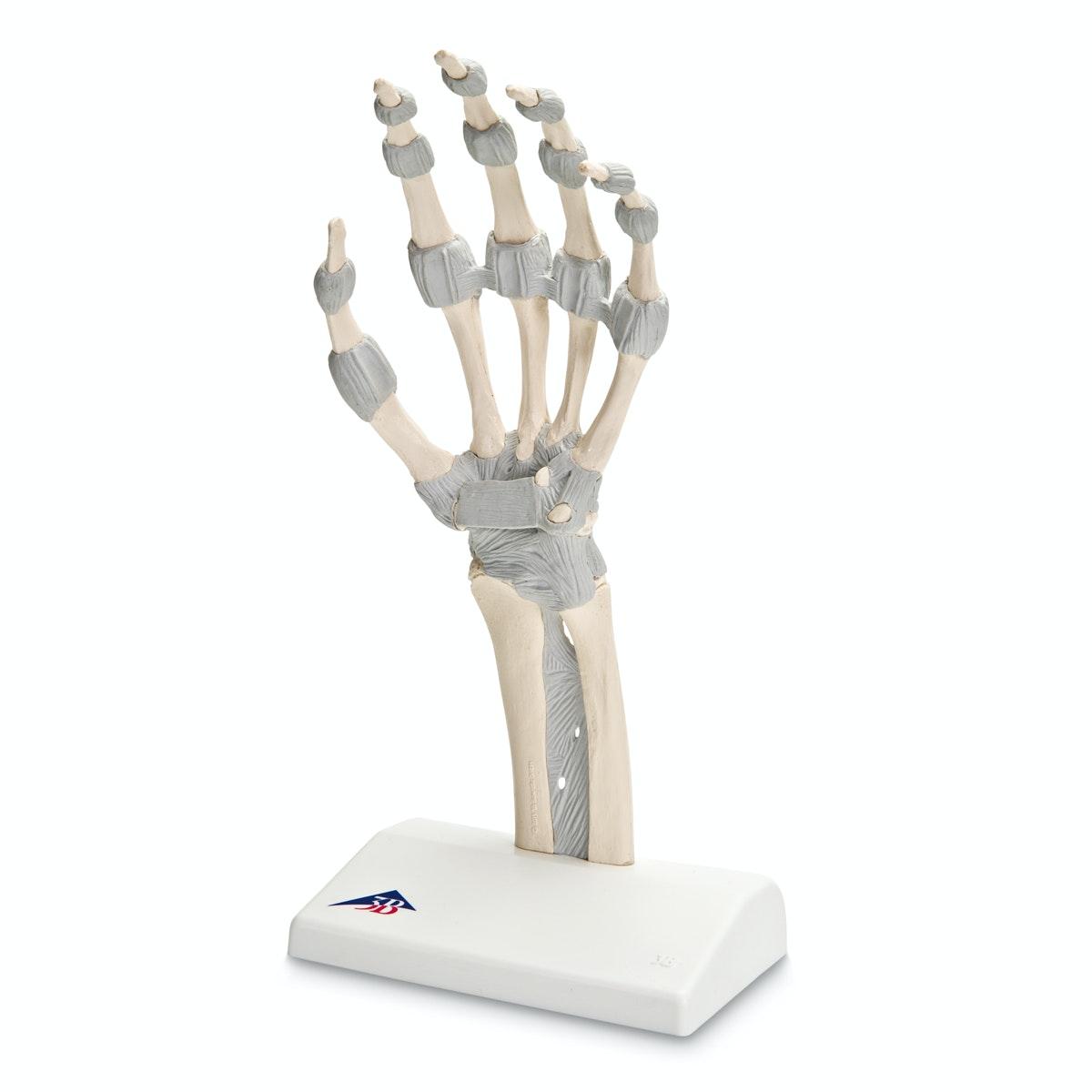 Fleksibel håndmodel med ligamenter