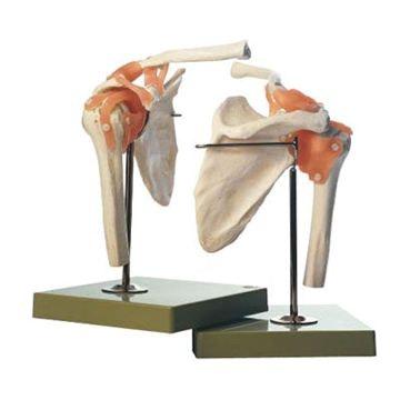 Fleksibel skuldermodel med ledbånd og yderst realistiske knogler