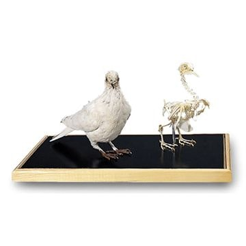 Dove skeleton and Stuffed dove (Columba palumbus)