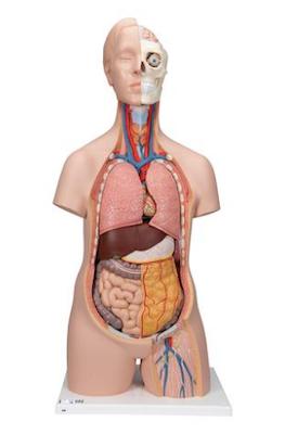 Klassisk unisex torso i 12 dele