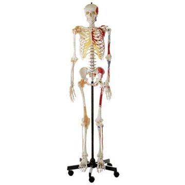 SOMSO mandlig skeletmodel med ledbånd, origo og insertio