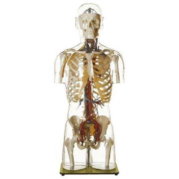 SOMSO transparent torso med hoved og karsystem