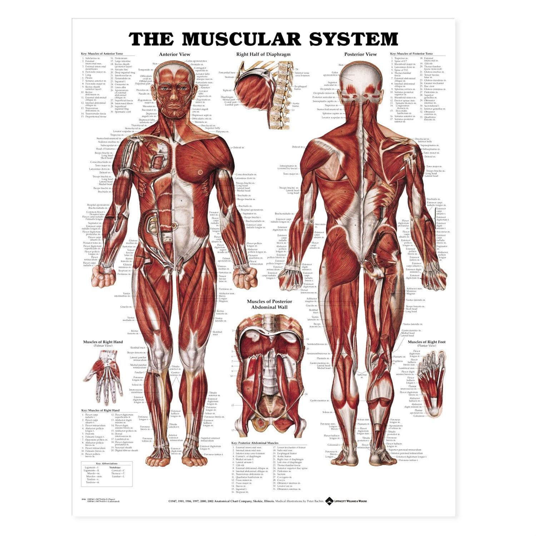 Muskelplakat papirplakat engelsk (The muscular system)