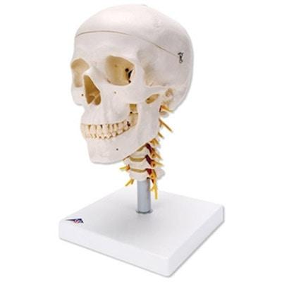 3-delt kranie på halshvirvler - 4 dele ialt