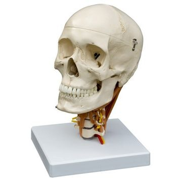 Rüdiger kranie med halshvirvler og halsmuskulatur