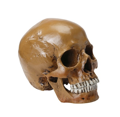 Hamlet kraniemodel i brun udgave