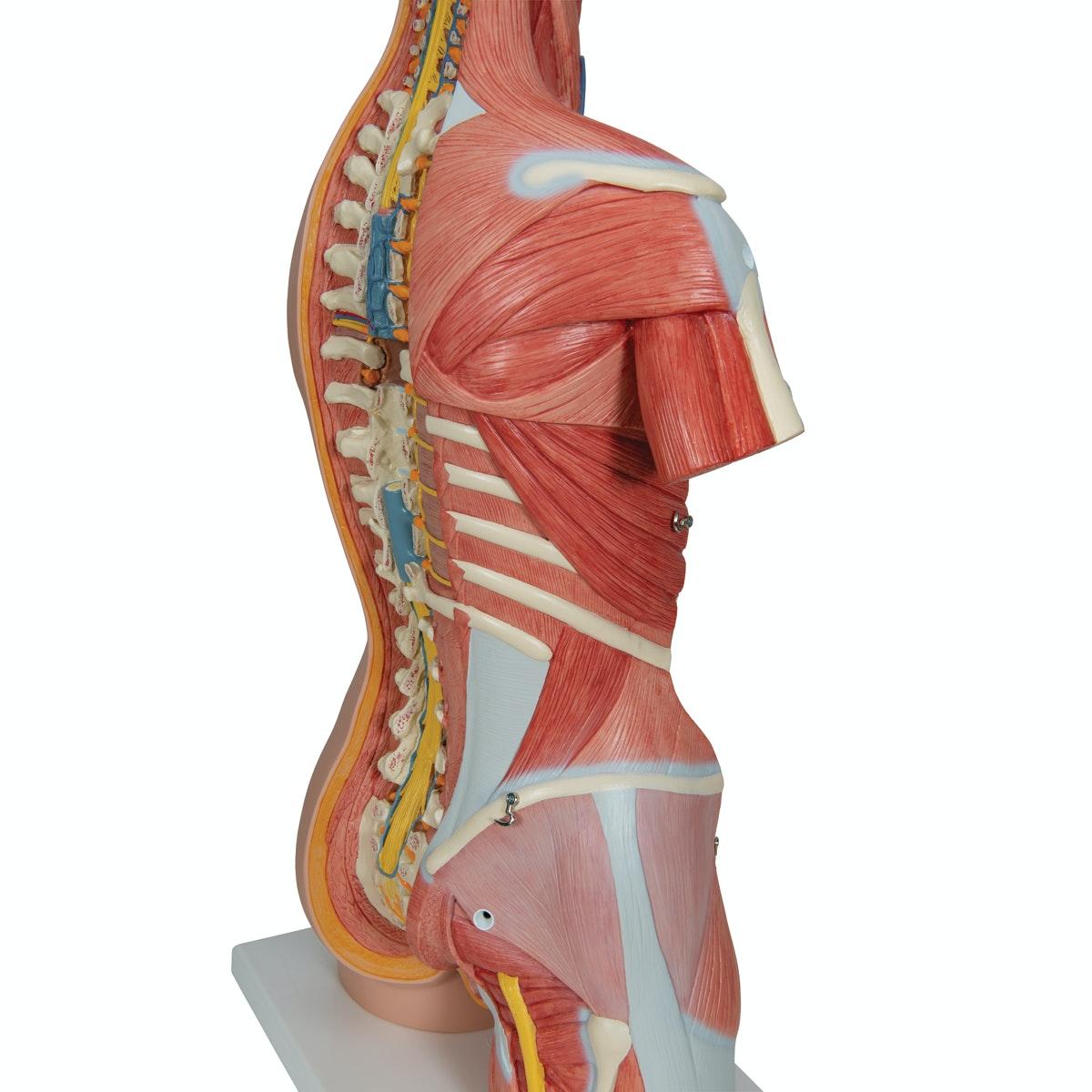 Komplet torso med 30 udtagelige dele, åben ryg, muskler, et foster og udskiftelige kønsorganer