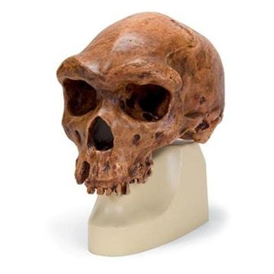 antropologisk kranie - Broken Hill or Kabwe