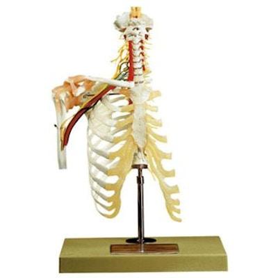 Avanceret model med skulder, tilhørende nerver og en stor del af skelettet