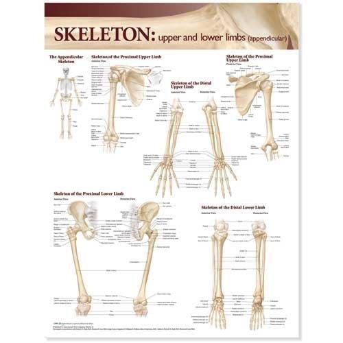 Lamineret plakat om øvre & nedre ekstremiteters knogler på engelsk (inkl. ringhuller)