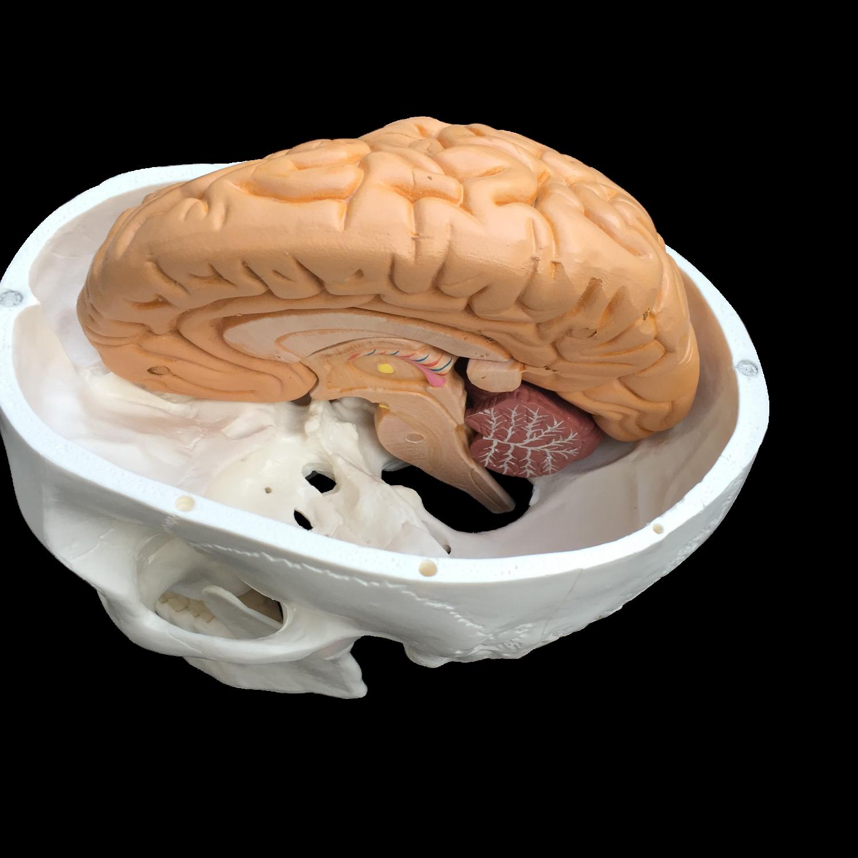Kranie med hjernemodel i 8 dele