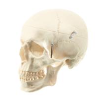 Særdeles naturtro kraniemodel i voksen størrelse. Kan adskilles i 3 dele