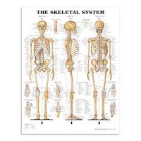 Klassisk skjelettplakat som også illustrerer leddbånd (ligamenter) på engelsk
