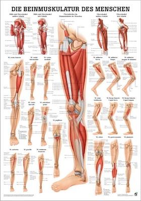 Lamineret muskelplakat om benets muskler på latin & tysk