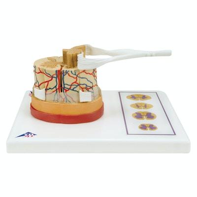 FORSTØRRET model som viser et tværsnit af rygmarven inkl. hjerne-hinderne, blodkar og en spinalnerve