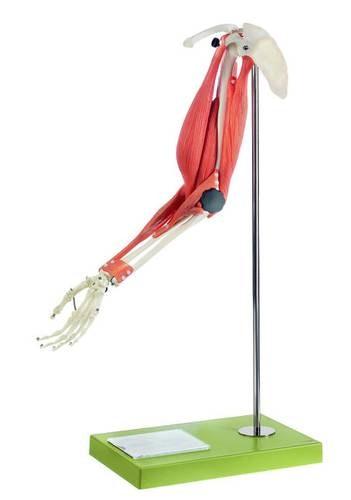 SOMSO Armmodel til påvisning af bevægelse i overarmen og forarmen