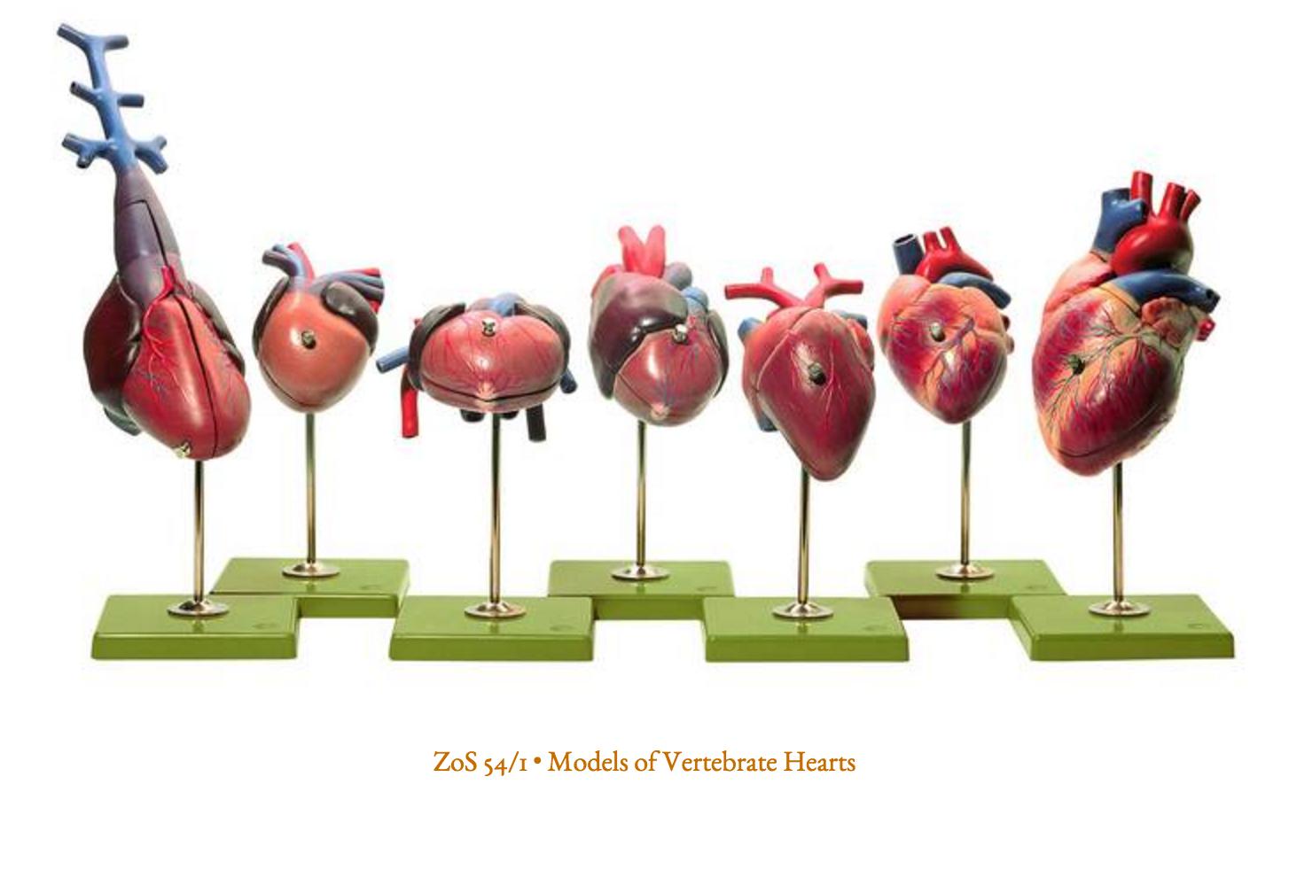 SOMSO Modeller af hjerter fra hvirveldyr
