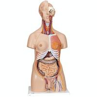 Detaljerad torso-modell med 23 avtagbara delar (ljusthyad och utbytbara könsorgan)
