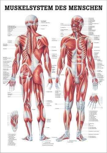 Muskelplakat på engelsk eller tysk & latin
