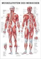 Muskelplansch på engelska eller tyska & latin