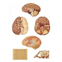 Plakat med illustrationer af hjernen og rygmarven (inkl. trælister)
