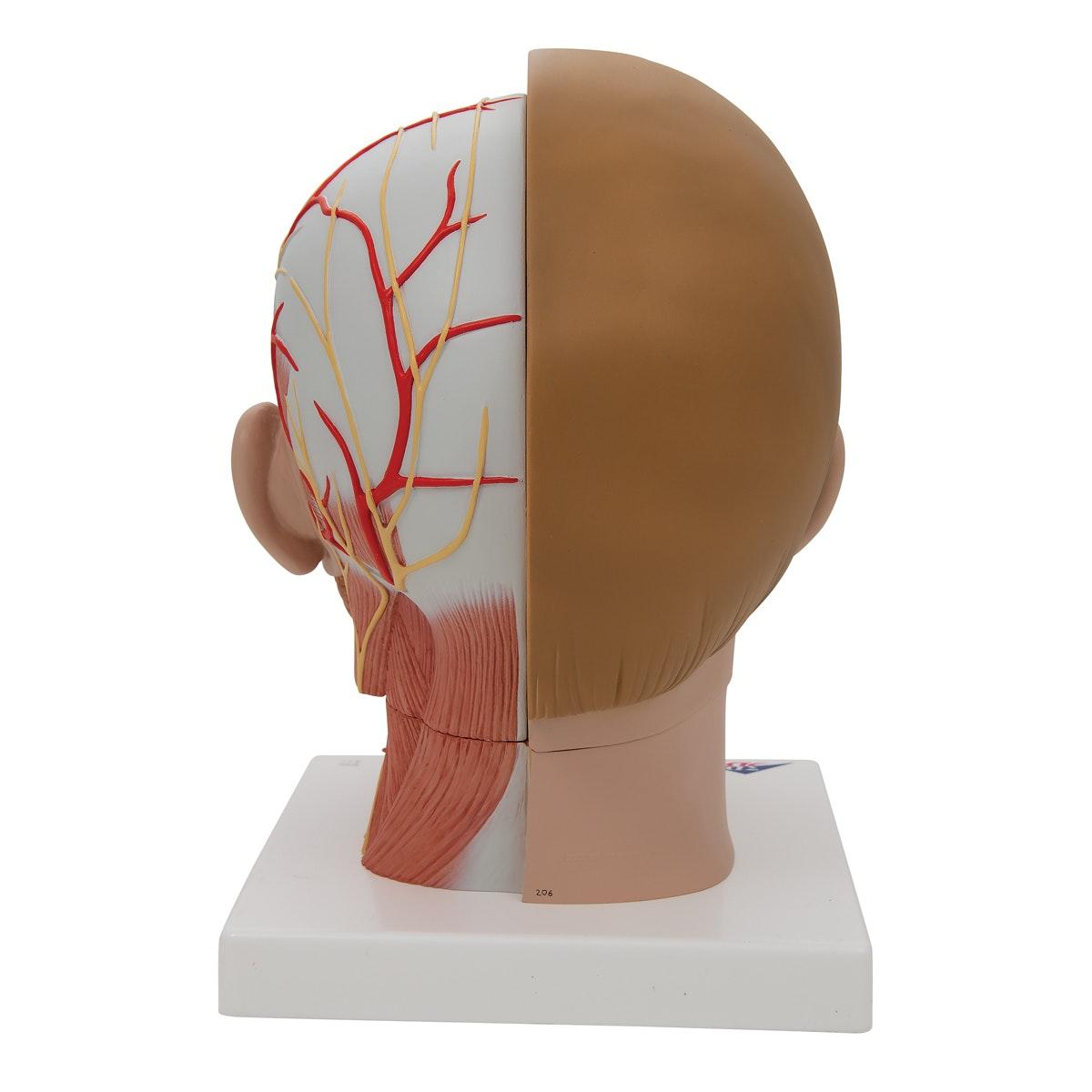 Hovedmodel med bloglagte muskler, kar og nerver