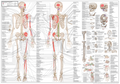 Rörelseapparatens Anatomi svenska och latin