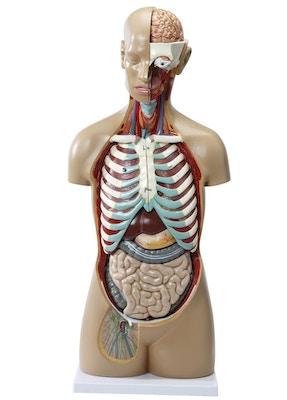 Detaljerad torso-modell med 16 avtagbara delar (Könlös och öppen rygg)