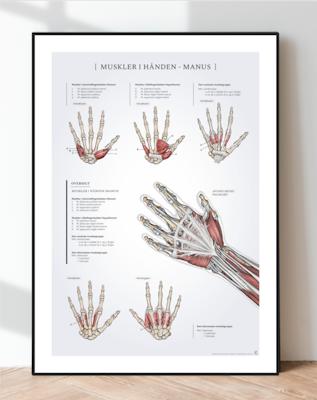 Muskler i hånden