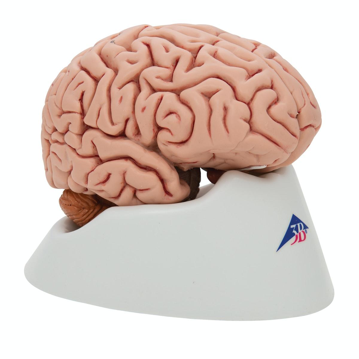 Hjernemodel afstøbt efter præparat i 5 dele