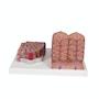 Detaljeret model af leverens væv og blodkar i et mikroskopisk perspektiv