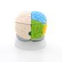 Hjernemodel med de vigtigste områder i pædagogiske farver. Kan adskilles i 8 dele