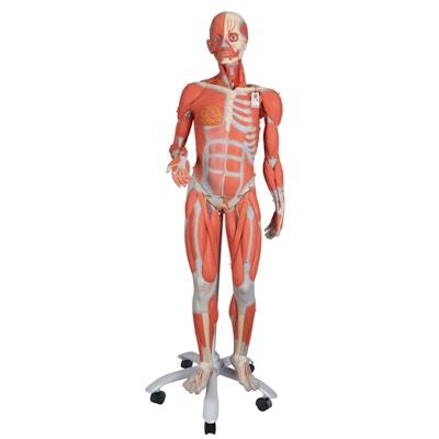 Muskelmodel i formindsket størrelse