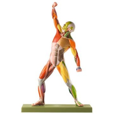 SOMSO Mandlig muskelfigur med farvede områder til tydelig påvisning af de forskellige nerver.