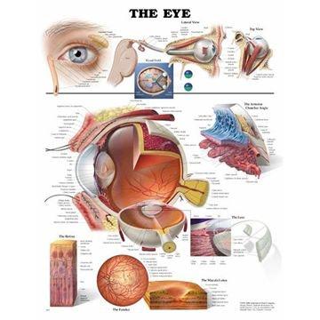 Øyet laminert plakat engelsk (The eye)