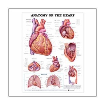 Hjertets anatomi lamineret plakat engelsk (Anatomy of the heart)