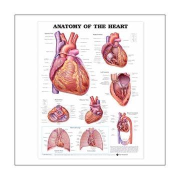 Lamineret plakat om hjertets anatomi på engelsk