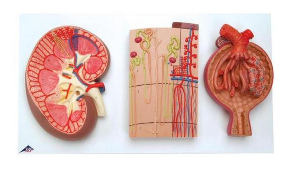 Nyremodel som viser nyren i længdesnit, nefronet og nyrelegemet samlet på en stander