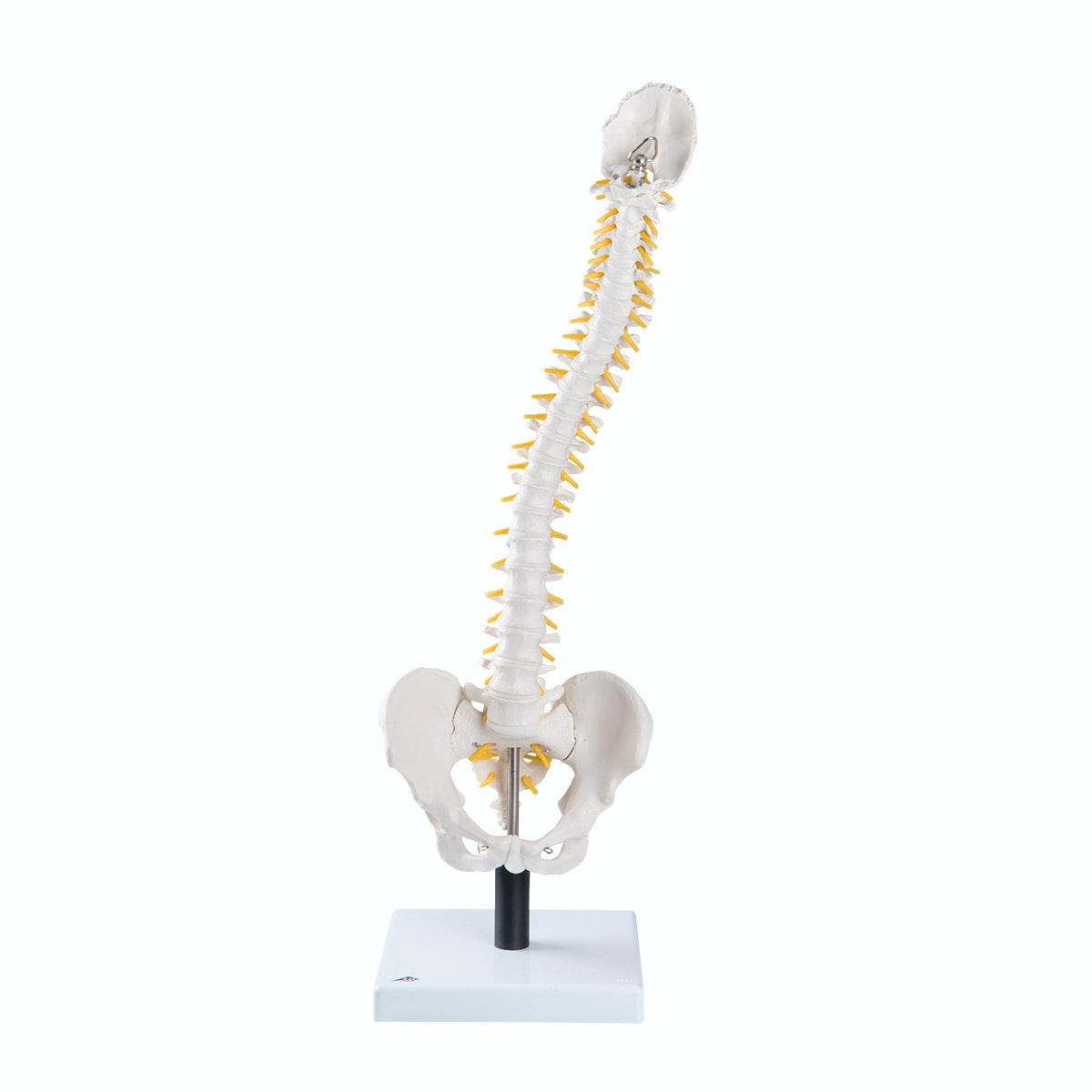 Fleksibel rygsøjle med ekstrabløde diskus og stand