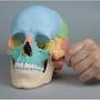 22-delt magnetsamlet kranie - farvet version