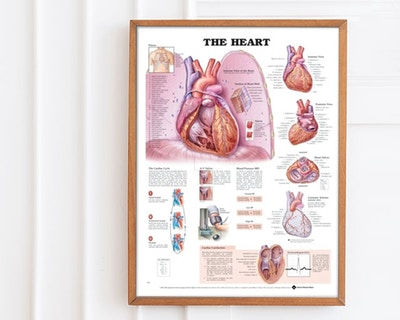 Cardiac posters & vascular system posters