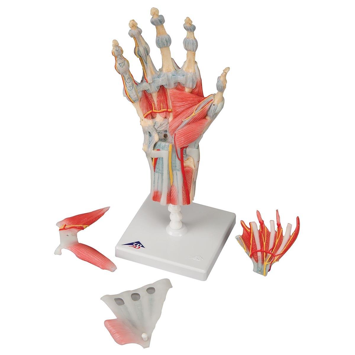 Håndmodel med ligamenter og muskler