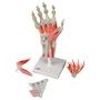 Komplet håndmodel med ledbånd, muskler, sener, kar og nerver - kan adskilles i 4 dele