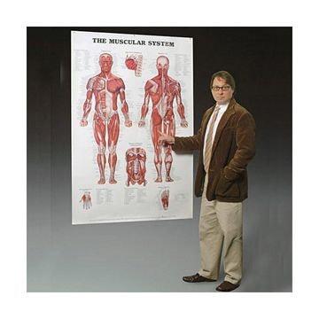 Muskelplakat i kæmpestørrelse på engelsk