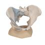 Kvindelig bækken skeletmodel med ledbånd